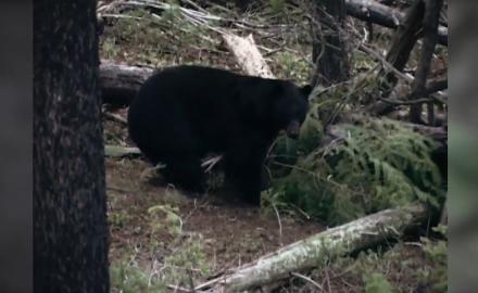 Bears Three Ways