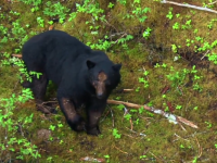 Alaskan Black Bear Part 2