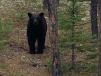 Manitoba Bear Hunt