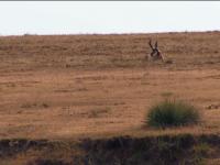 Colorado Antelope 2