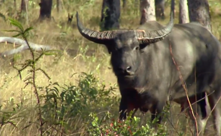 Curt Wells is down under in search of water buffalo.