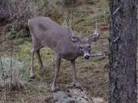 Washington Winter Whitetails