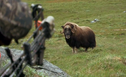 Editor Curt Wells and friends make a historic trip to Greenland in search of muskox.