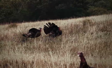 Curt Wells focuses on proper ground blind setup for turkeys.