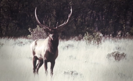 Editor Curt Wells talks about when to draw your bow on an elk.