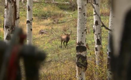 Colorado Elk, The Sweet Sound of Success