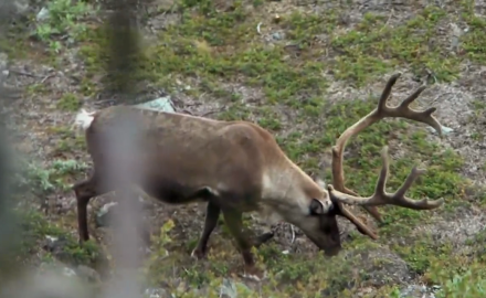 Editor Curt Wells and friends make a historic trip to Greenland to stalk caribou.