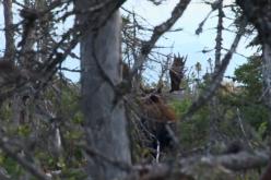 Evasive Canada Moose