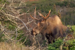 Close Encounter With a Young Bull Moose