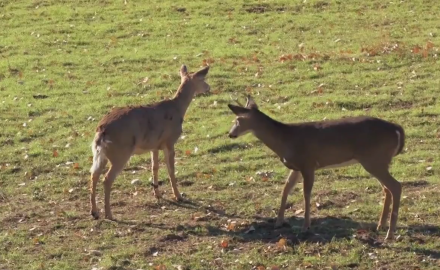 Whitetail Decoy Finds a Suitor