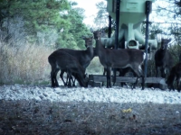 C.J. Winand sets up a blind near a permanent feeder and gets a nice shot on a sika.