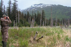 Spot and Stalk Black Bear Hunt in Alaska