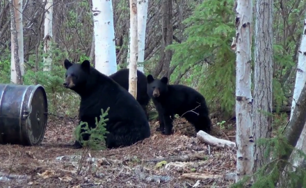 baited black bears