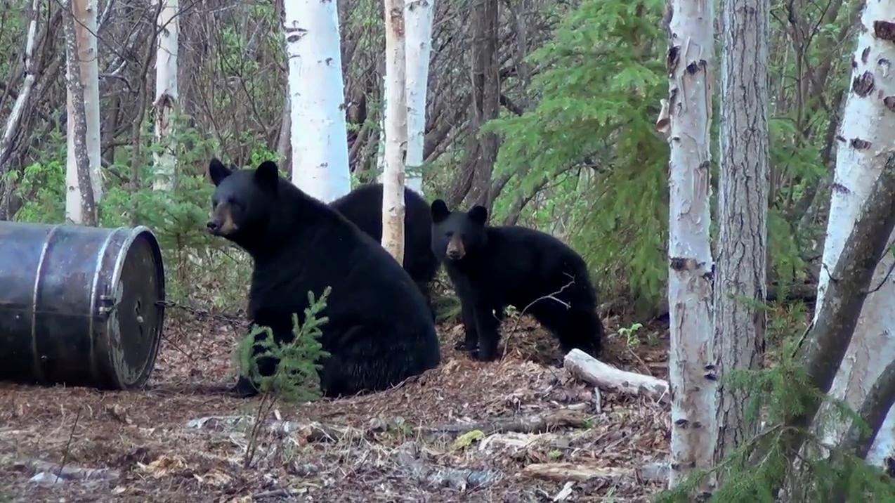 Baited Black Bear Hunt