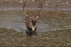 Brooks Range Caribou Hunt