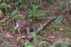 West Coast Blacktail Hunt