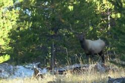 Wyoming Bighorn Bulls