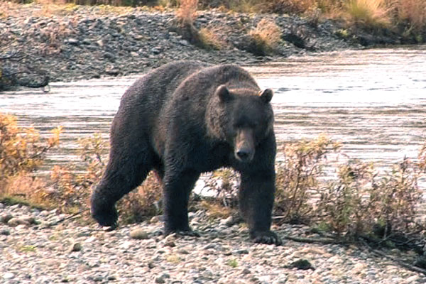 bowhunting difficult brown bear