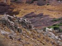 hunting mountain goats