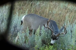 hunt unpredictable mule deer