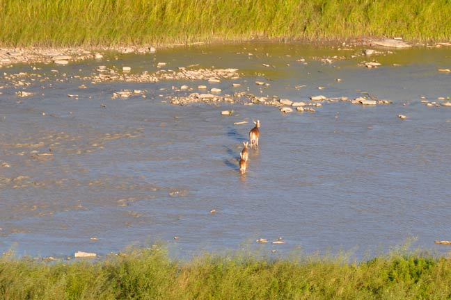 bowhunting-velvet-whitetails