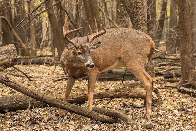 how-to-call-deer