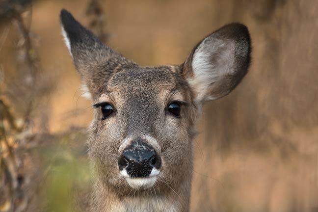 tips-for-calling-deer