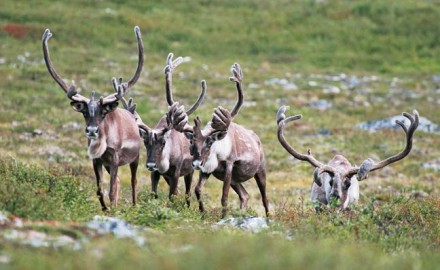Caribou are making news on two different continents. In Canada, Quebec has announced that all sport