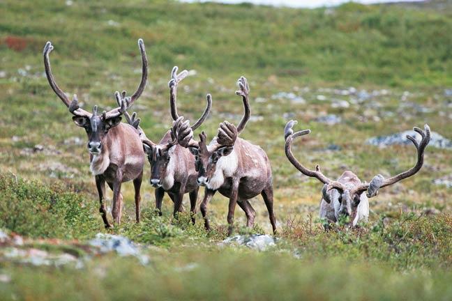 Declining-Caribou-Population