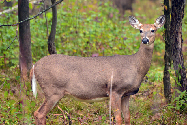 Using Does To Locate Mature Bucks