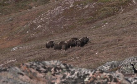 The Bowhunter team tackles the steep hills of Greenland in search of caribou and muskox.