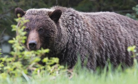 This past august, British Columbia's provincial government announced the end of all grizzly bear
