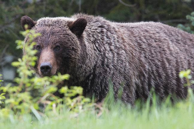 Grizzly Hunting Now Banned in British Columbia