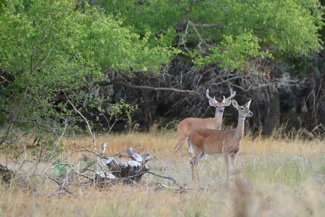 5 Ways You're Scouting Summertime Bucks Wrong