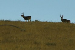 Early Action for Wyoming Whitetails