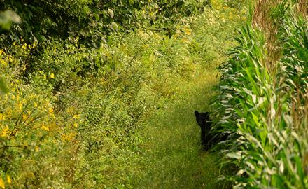 Bear on field edge