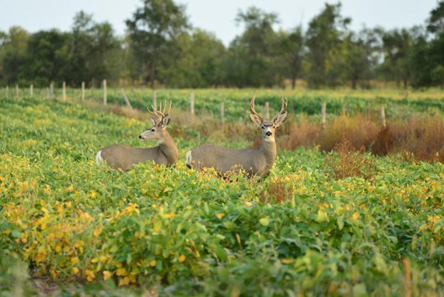 Bowhunting-Trips-Deer