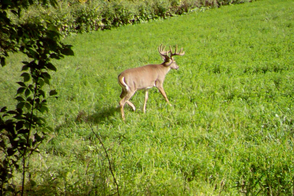 //www.bowhunter.com/files/6-best-tips-for-glassing-summer-bucks/depressed-bucks_1.jpg