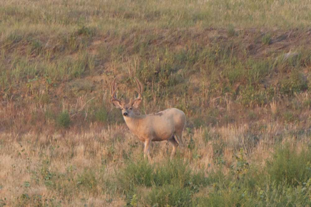 //www.bowhunter.com/files/7-tips-for-spot-and-stalk-mule-deer-hunting/muledeer_3.jpg