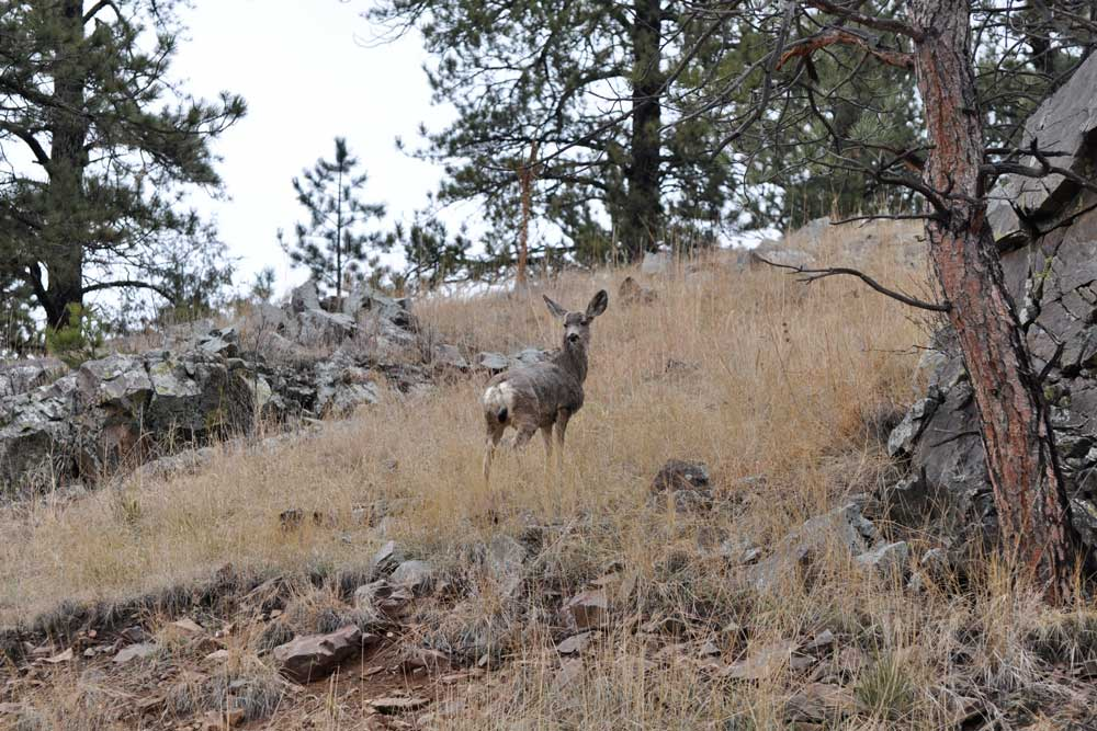 //www.bowhunter.com/files/7-tips-for-spot-and-stalk-mule-deer-hunting/muledeer_4.jpg