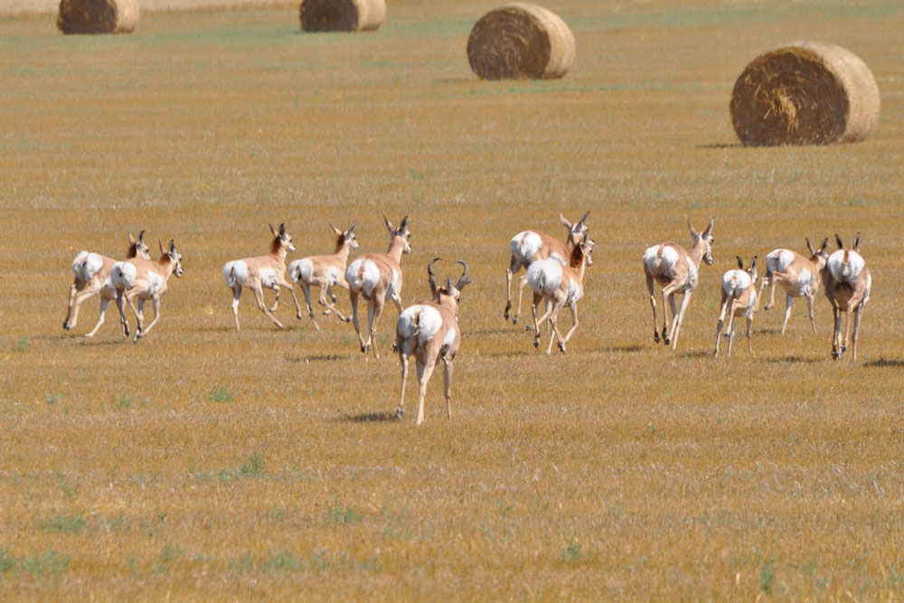 //www.bowhunter.com/files/antelope-the-hard-way-10-ways-to-increase-your-spot-and-stalk-pronghorn-success/attitude.jpg