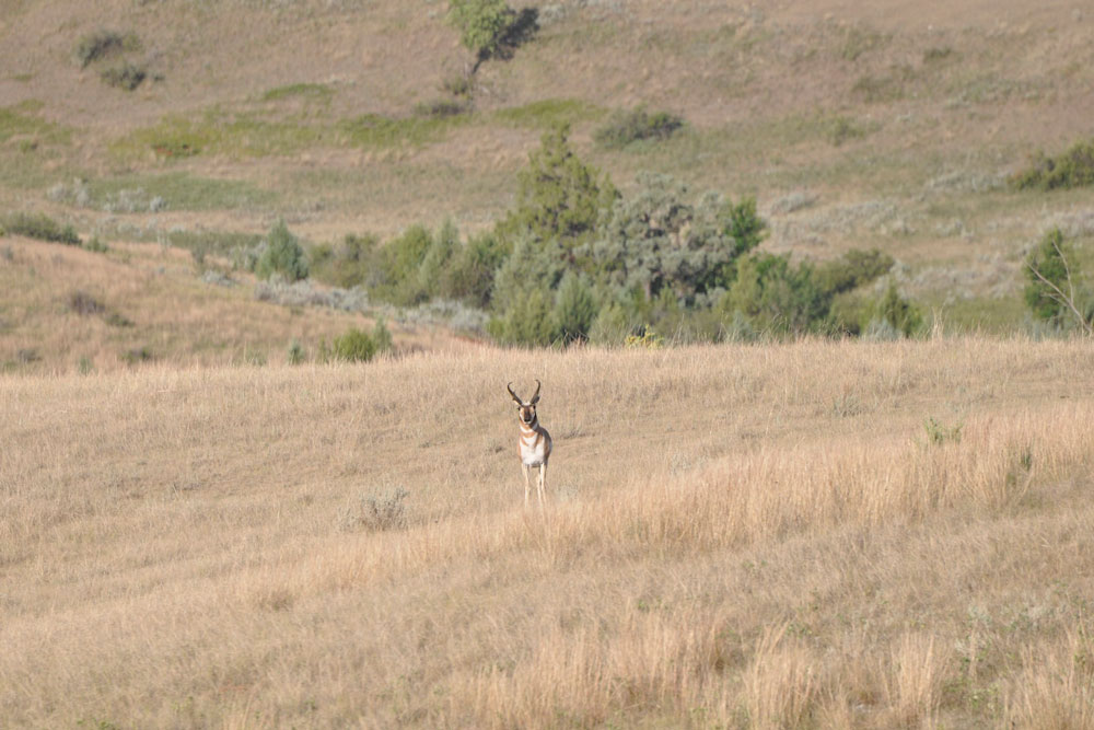 //www.bowhunter.com/files/antelope-the-hard-way-10-ways-to-increase-your-spot-and-stalk-pronghorn-success/busted.jpg