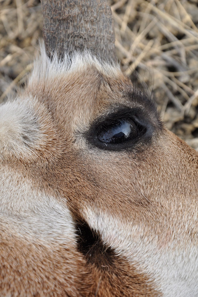 //www.bowhunter.com/files/antelope-the-hard-way-10-ways-to-increase-your-spot-and-stalk-pronghorn-success/understand-the-eyes.jpg