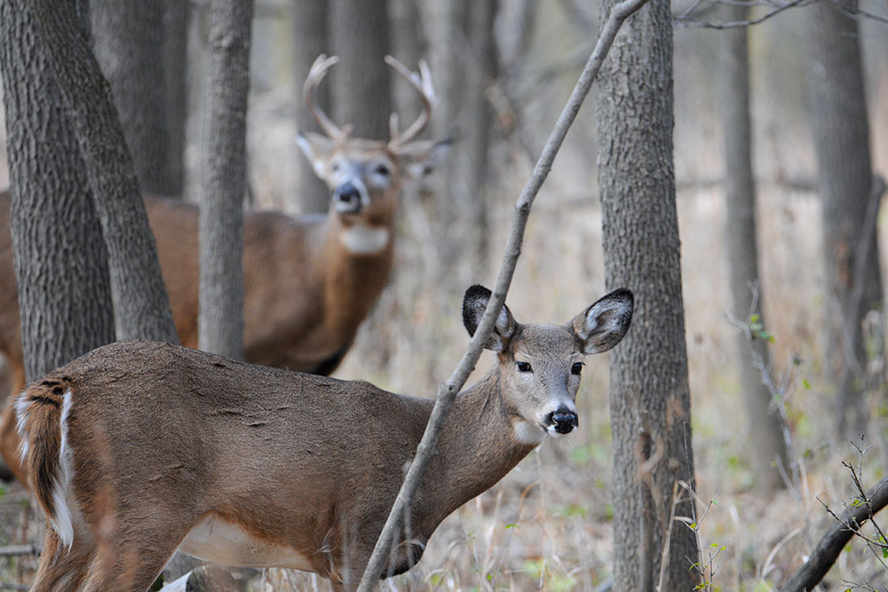 //www.bowhunter.com/files/how-to-understand-whitetail-deer-sounds/001_tending-grunt.jpg