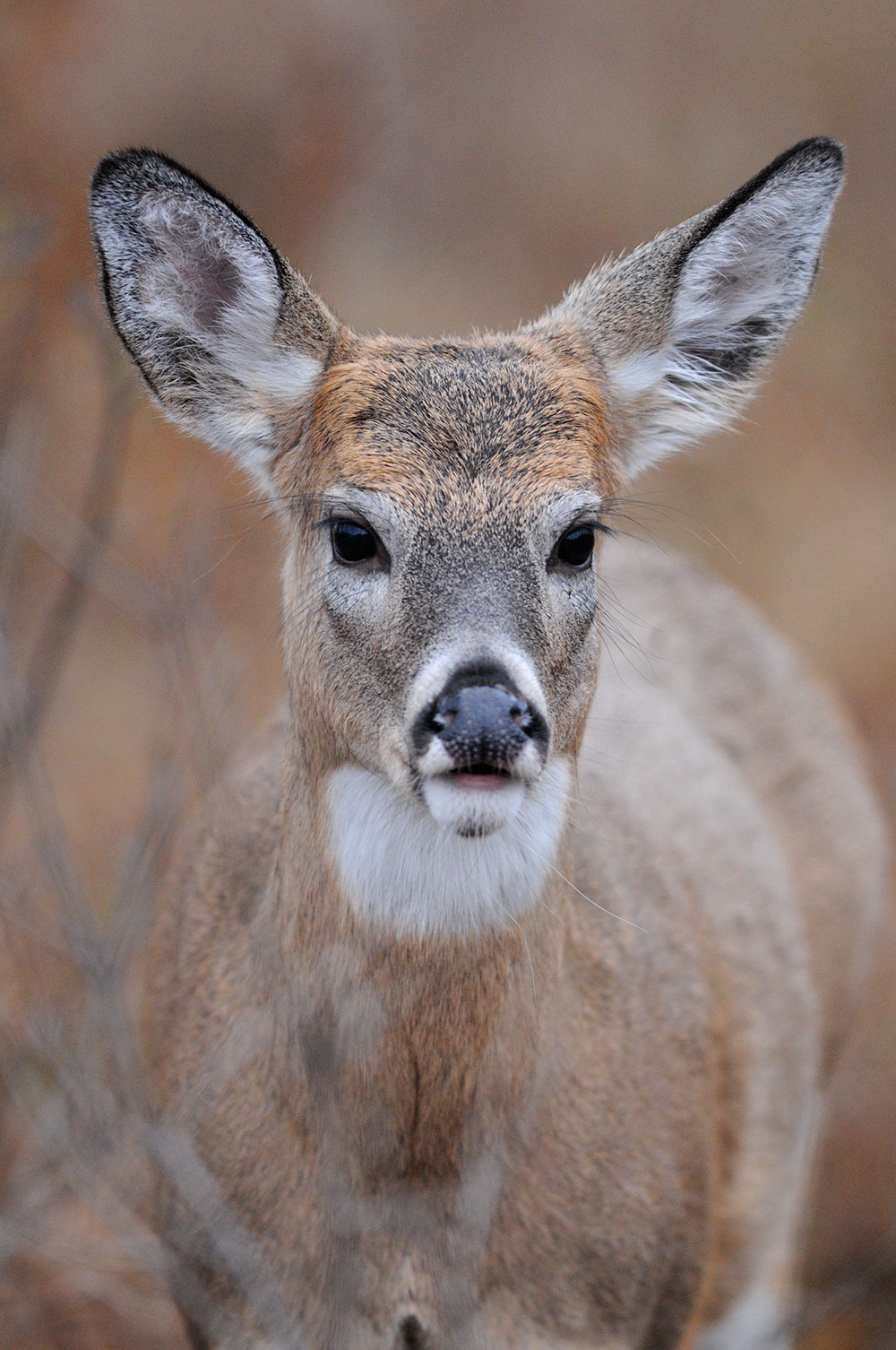 //www.bowhunter.com/files/how-to-understand-whitetail-deer-sounds/002_fawn-bleat.jpg