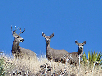 An Arizona high-desert adventure for two species that will test your bowhunting skills.