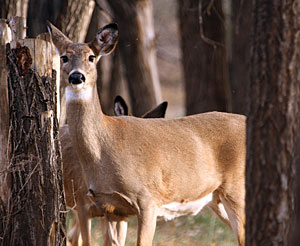Tactics For Coping With Mature Does While Bowhunting
