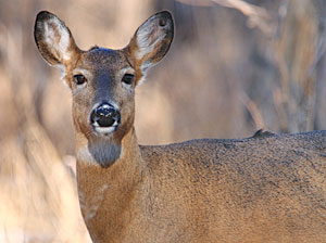 by John Trout, Jr.  Archers often hear deer snort at a distance and wonder if they were detected.