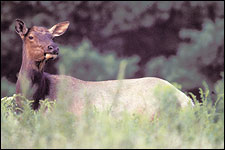 Twenty Years Of Elk Calling