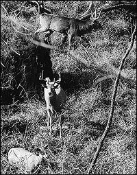 A little study goes a long way in predicting late-season buck travel.  Although it was three in the